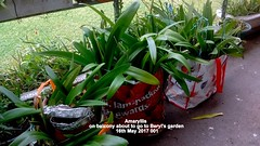 Amaryllis on balcony about to go to Beryl's garden 16th May 2017 001 (D@viD_2.011) Tags: amaryllis balcony about go beryls garden 16th may 2017