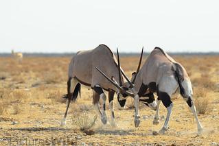 battle of the gemsbok ~r