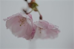 In Memory of Fred J. King Jr. (smilla4) Tags: cherryblossoms raindrops waterdrops spring fredjkingjr georgetowncrew hoya