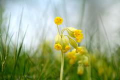 Gullviva (Elahe Dastgheib) Tags: elahe flower nature wild gullviva outdoors grass weed green yellow grön gull sweden stockholm cowslip