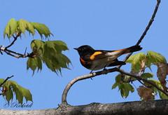 Paruline flamboyante male - American redstart male (ricketdi) Tags: parulineflamboyante americanredstart setophagaruticilla bird wow ngc coth5