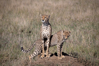 The Cheetah of the Serengeti Plains