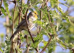 Verdin (Auriparus flaviceps) (slsjourneys) Tags: verdin maderacanyon
