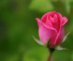 è... (andrea.zanaboni) Tags: rosa rose macro nikon gocce drops fiore flower stile nature ngc