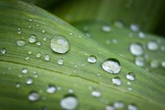 30/52 (annaleiia (SunlitFern)) Tags: water waterdrops leaf leaves nature plant canon canonrebel macro 52weekchallenge 52weeks