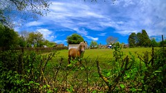The Horse (YᗩSᗰIᘉᗴ HᗴᘉS +6 500 000 thx❀) Tags: 7dwf 7dayswithflickr faune fauna horse cheval nature sky bluesky sunday sliderssunday prairie hensyasmine