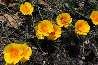 Eschscholzia californica maritima (Papaveraceae) Coastal California Golden Poppy