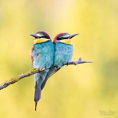 Colorful world (Fabien Serres) Tags: coraciiformes europeanbeeeater guêpierdeurope meropsapiaster méropidés oiseau bird