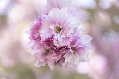 Cherry Blossom (Sveta Imnadze) Tags: nature flowers blossom victoria bc canada spring
