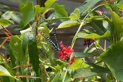 Graphium doson axionides (Jay); Bangkok Insectarium and Butterfly Garden (sarracenia.flava) Tags: bangkok insectarium butterfly garden garphium doson jay swallowtail