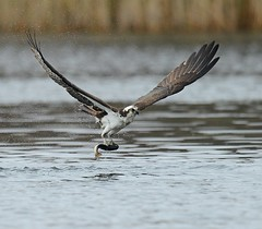 Osprey Catching a Fish (KoolPix) Tags: osprey seahawk fishhawk raptor birdofprey wings birdwithprey beak feathers talons flying flight bif birdinflight water lake catchingfish fish massapequa ny koolpix jaykoolpix naturephotography jay nature wildlife wildlifephotos naturephotos naturephotographer animalphotographer wcswebsite nationalgeographic fantasticnature amazingnature wonderfulbirdphotos animal amazingwildlifephotos fantasticnaturephotos incrediblenature mothernature