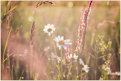 Quand le soleil se pointe🌱 Early morning in the meadow (www.nathalie-chatelain-images.ch) Tags: prairie meadow fleurs flowers marguerites daisies herbe grass soleil sun lumière light trioplan100mmf28 bokeh vintage nikon