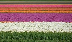 Tulip fields (EvelienNL) Tags: tulip tulips flower flowers field flowerfield flowerbed bulbfield bloemen tulpen bloemenveld bloemenvelden bollenveld bollenvelden tulpenveld tulpenvelden colourful dutch holland netherlands flevoland flevopolder white wit witte paars paarse purple pink orange roze oranje