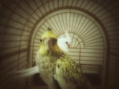 Oh sure, Miss Anita Moorecolor wants nothing to do with me until Mr Augusta Wind starts whistling at me.  Then all of the sudden I'm beefcake.  . .  What?!  She can't see very well, I told her I was 24.  . . #bird #birdcage #cockatiel #pearl #cinnamonpear (hbmike2000) Tags: instagramapp square squareformat iphoneography uploaded:by=instagram
