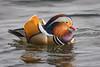 Er hatte sich das alles ganz anders vorgestellt (DOKTOR WAUMIAU) Tags: animals berlin birds d7200 ishootraw lightroom mandarinente nikon sigma150600c vscofilm wildlife