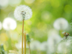 How many dandelions are there? (Tomo M) Tags: nature dandelion plant soft bokeh field seeds flower fluffy green white light dof spring
