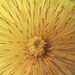 Spring Texture I (Tinker & Rove) Tags: dandelion radial spring yellow abstract texture macro nature monochrome pollen petal flower
