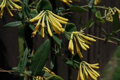 Honeysuckle (Let Ideas Compete) Tags: flower yellow vine honeysuckle leaf leaves green spring flora blossom blossoms bloom blooms