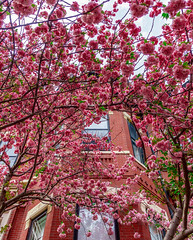 Cherry Blossoms ((Jessica)) Tags: cherry cherryblossoms flowers pink brick red coral lookup spring springtime backbay boston massachusetts newengland tree