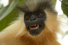 An expressive Capped langur (siddarth.machado) Tags: trachypithecuspileatus capped langur primate expression portrait nagaland india northeast southeast asia vulnerable vu iucn