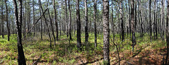 Pine Barrens (@harryshuldman) Tags: pine barrens franklin county preserve burlington nj new jersey canon eos 7d mark ii tree panorama forest nature pinelands