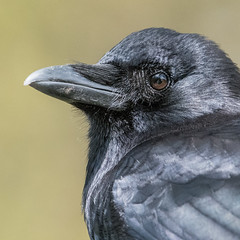 Northwestern Crow (Shore Birder) Tags: northwesterncrow lostlagoon stanleypark vancouver britishcolumbia crow corvuscaurinus