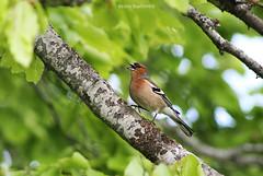Walking bird (BesimIbrahimii) Tags: bird wild nature green tree trees kosovo kosova mitrovice animal animals