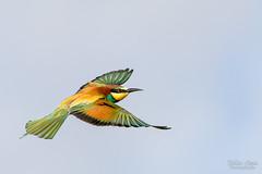 Vol plané (Fabien Serres) Tags: coraciiformes europeanbeeeater guêpierdeurope meropsapiaster méropidés oiseau bird