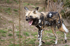 The african painted dog again. (Cloudtail the Snow Leopard) Tags: wildhund zoo basel cloudtail snow leopard afrikanischer tier animal mammal säugetier hund dog pointed african lycaon pictus hunting cape wolf cloudtailthesnowleopard