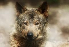 Iberian wolf (Allan Jones Photographer) Tags: wolf iberianwolf canine canon5d3 allanjonesphotographer canon ef70200mm f28l is ii usm canonef70200mmf28lisiiusm dzp bokeh