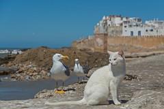 Friends? (jennifer.stahn) Tags: travel travelphotography animal animals tiere möve seagull katze cat niceview maroc marocco marokko essaouira seascape wild wildlife nikon jennifer stahn afrika africa nordafrika
