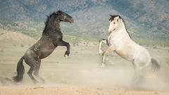 wild horses6-8406 (Jami Bollschweiler Photography) Tags: wild horses wildlife photography onaqui herd utah amazing stallions fighting colts baby colt watering hole west desert great basin