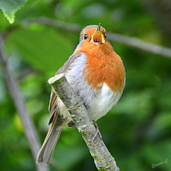 """""""This is my song"""" (Eleanor (No multiple invites please)) Tags: robin singing regentspark london nikond7100 may2017"""