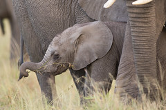 Baby Elephant (Mathieu Pierre) Tags: kenya maasai mara safari f28 7d canon eos vanguard tripod grip 7dmark2 sunlight wildlife africa 300mmf28 goldenlight sunrise 7dmarkii big cuteanimal beautiful masaimara maasaimara elephant babyelephant éléphant