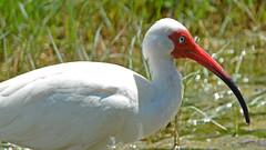 White ibis (justkim1106) Tags: shorebird wadingbird rockporttexas texas texasnature coastal animal water