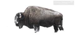 Bisonte Americano - American Bison - Yellowstone National Park (Gaston Maqueda) Tags: bison buffalo america wildlife animals yellowstone northamerica mammals mamiferos animales salvaje nature naturaleza bovids ungulados