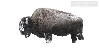 Bisonte Americano - American Bison - Yellowstone National Park