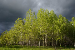 Spring Storm (Francoise100) Tags: nature giboulée printemps spring nuages baüme contraste on wolken thunderbay clouds trees ontario canada storm sturm orage arbres green vert gruen