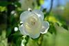 Light white (mogul) Tags: nikon nikon35mm d7000 rose capturenx2 nik borely flowers white bokeh