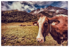 Eng VIII (P.S. ZOELLER) Tags: kuh cow österreich eng ahornboden austria