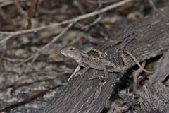 Jacky Dragon (Amphibolurus muricatus) (shaneblackfnq) Tags: jacky dragon amphibolurus muricatus shaneblack lizard reptile agamid malabar long bay maroubra sydney nsw new south wales australia