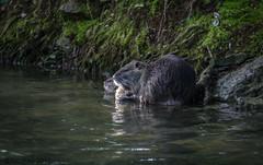 Au bord de l'eau (fabakira) Tags: fabakira fabakiraphotography fabakiraphotography2017 nikon d7000 sigma sigma70200 ragondin eau mammifère nature regard myocastor lauron bourges