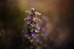 In The Woods (Sweedon~) Tags: macromonday wild ajuga woods macro inthewoods macrotheme plant path stem flowers cluster