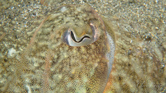 I can see you.... cuttle fish (clivecrisp) Tags: elusive chrromatophores seabed eye macro ocean sea photography photo underwaterphoto sepia cuttlefish em10 olympus inon scuba underwaterphotography gibraltar