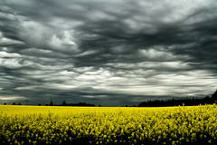 Raps .... (gutlaunefotos ☮) Tags: raps gewitter wetter natur wolken gelb landschaft feld himmel stimmung drama licht