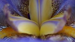 Intimité - in explore 17/05/2017 (passionpapillon) Tags: macro nature fleur flower intimité pistil iris passionpapillon 2017