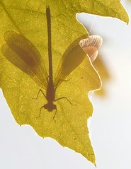 bubu settete... (andrea.zanaboni) Tags: ombre nikon macro foglie colori libellula dragonfly shadows leaf