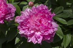 Peony (will139) Tags: closeup indianapolisindiana freshness colorful outdoors fragility flowerhead peony