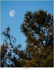 The Moon and the pine tree (nandOOnline) Tags: ochtend ochtendlicht strabrecht strabrechtseheide boom nevel ven zonsopkomst ochtendmist landschap maan naaldboom natuur den heide spar someren nbrabant nederland