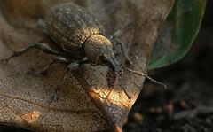 Otiorhynchus ligustici_9587 (Henrik Gyurkovics) Tags: otiorhynchusligustici otiorhynchus curculionidae snoutbeetles beetles coleoptera hungary weevils